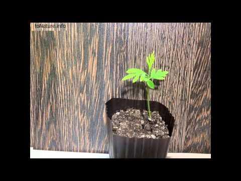 Гревиллея из семян в домашних условиях