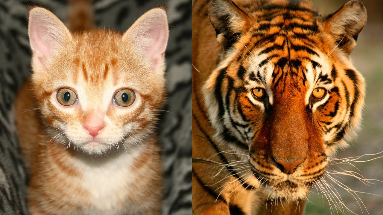 Image result for Tiger and a cat