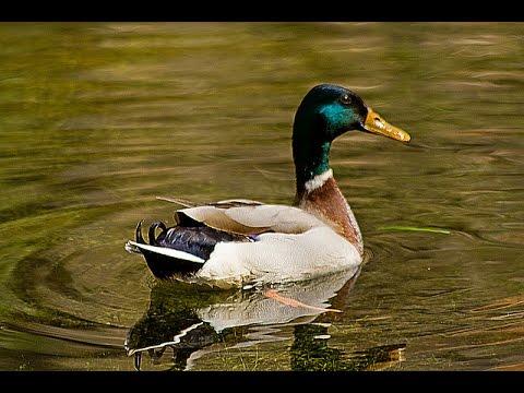 Los patos salvajes mascotasyanimales youtube for Imagenes de estanques para patos