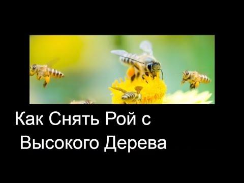 Как снять рой пчел с высокого дерева видео