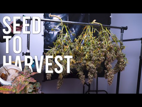 I GREW ORGANIC AUTOFLOWERS FROM SEED TO HARVEST ONLY USING COMPOST TEAS AND 200 WATTS!