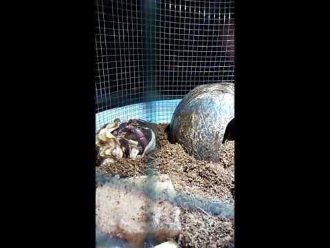 Real life crab changing his shell