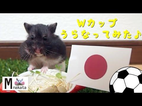 W杯で日本はグループリーグ突破できるか検証!おもしろ可愛い癒しハムスター World Cup! What is the finals advance team?