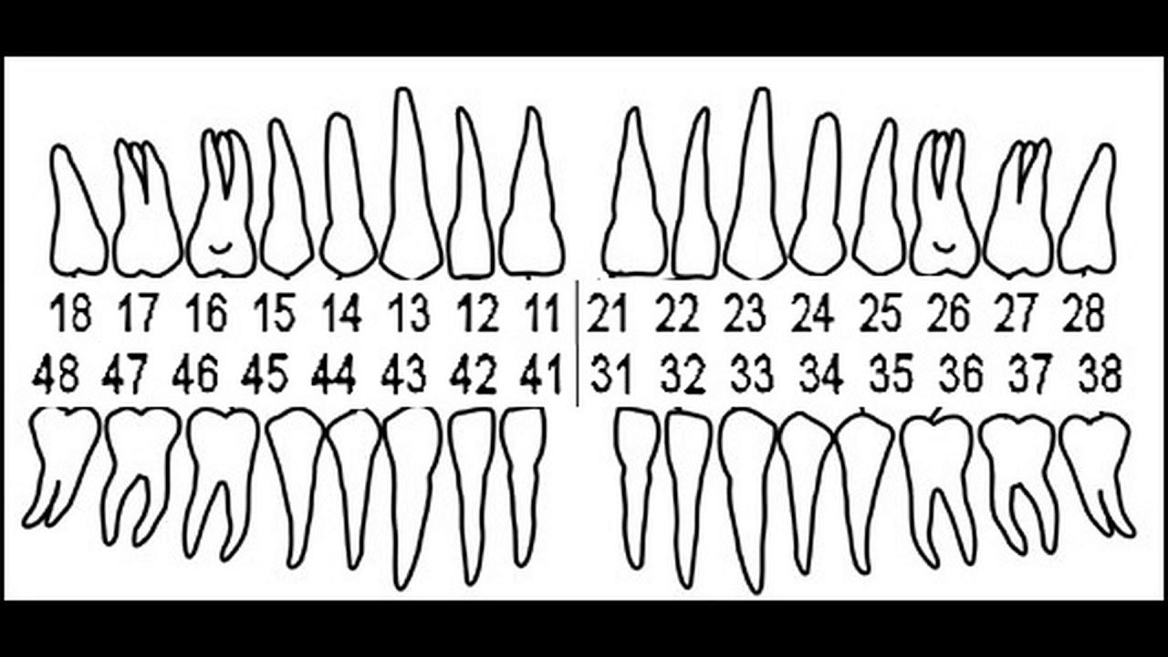 зубная схема картинки длинными