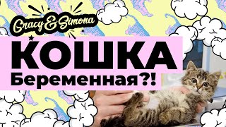 Как узнать о беременности кошки ? (Невская маскарадная кошка Киара)