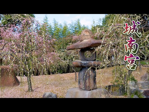 KYOTO【Plum blossoms】Weeping plum trees, plum flower petal carpet at Jonangu Shrine 2020. #城南宮 #4K
