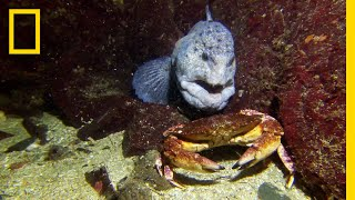 Meet the Intimidating Eel That Mates For Life   National Geographic