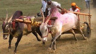 Powerful stud bulls pulling bullock cart at speed
