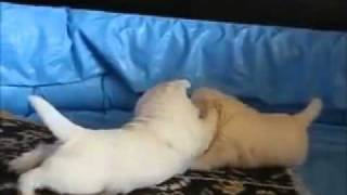 Westie Puppies 25 Day Old