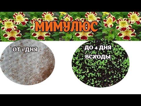 Вопрос: Как выглядят семена мимулюса , фото?