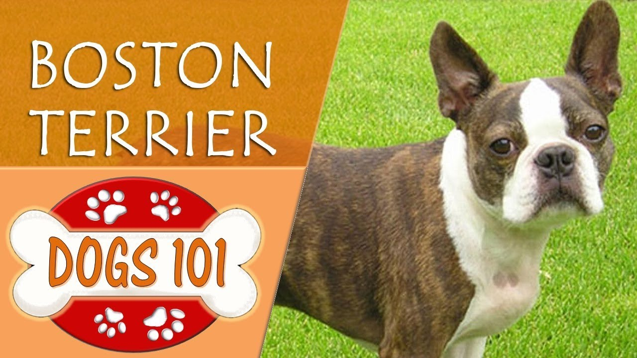 Dogs 101 Boston Terrier Top Dog Facts About The Boston Terrier