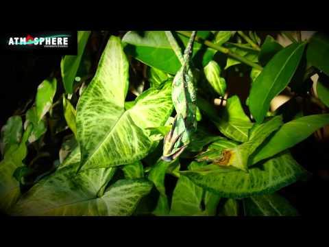 Chameleon eating plant matter!