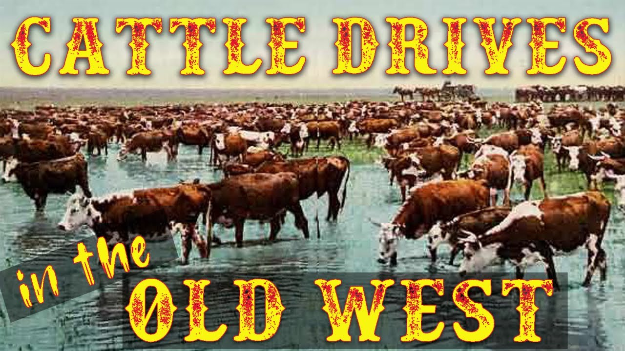 YouTube the Drives West Old Cattle in -
