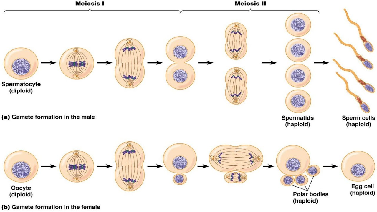 how to understand meiosis 1 and 2