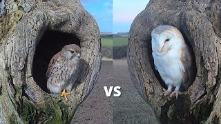 Kestrel vs Barn Owl | Dramatic Fight for Best Nest Box