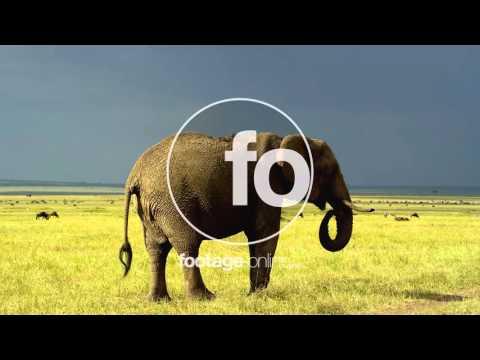 Elephant Africa Stock Footage 014940 UHD