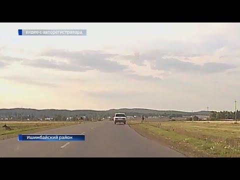 В Ишимбайском районе семейство лосей едва не спровоцировало аварию