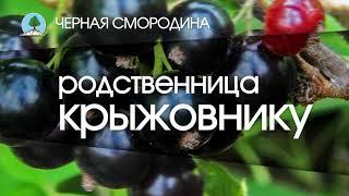 """ЧЁРНАЯ СМОРОДИНА. Питомник """"Сады Урала"""""""