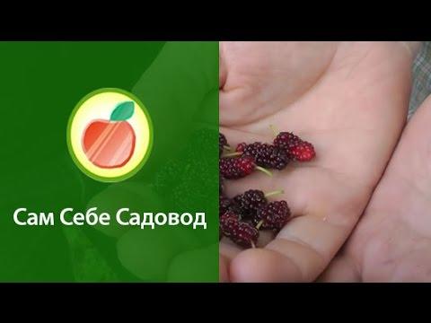 Шелковица (тутовое дерево)