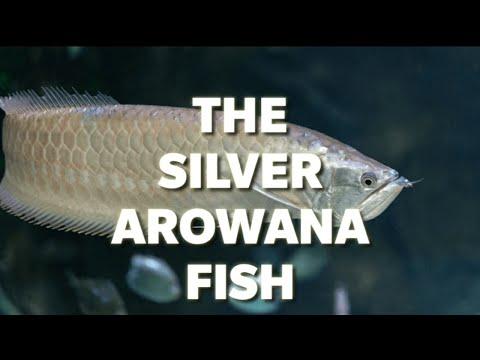 The Silver Arowana