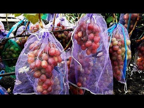 Сорт винограда Анюта  Виноград 2019 | характеристика | мускатный | винограда | описание | крайнова | виноград | краткая | осенью | домашн | анюта