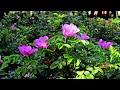 О Беларусь мая шыпшына Oh Belarus My Wild Rose mp3