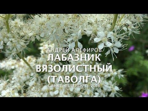 Лабазник (таволга) вязолистный. Алефиров А.Н.