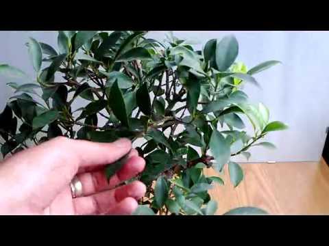 Bonsai Potatura Primaverile Estiva Ficus Microcarpa Youtube