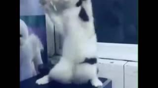 Кошка танцует