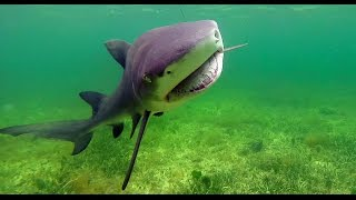 SHARK Fishing the Flats in Key Largo Florida(Largo Lemons - Capt Blair Wiggins is fishing for lemon sharks in Key Largo fl with Capt Lain Goodwin. Click Here to Subscribe → http://bit.ly/AF-subscribe New ..., 2015-06-22T19:24:05.000Z)