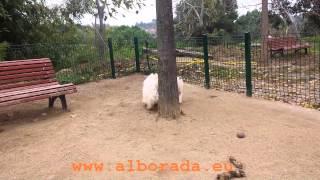 Alborada Revulú, promissing westie male