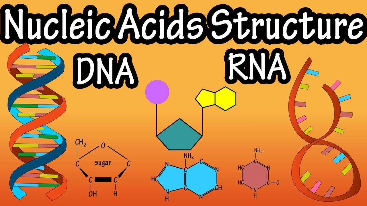 Structure Of Nucleic Acids - Structure Of Dna