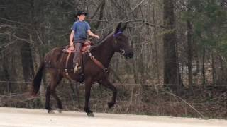 melvin-beginner-safe-john-mule-for-sale-trotting-video-watch-this-smooth-trot-