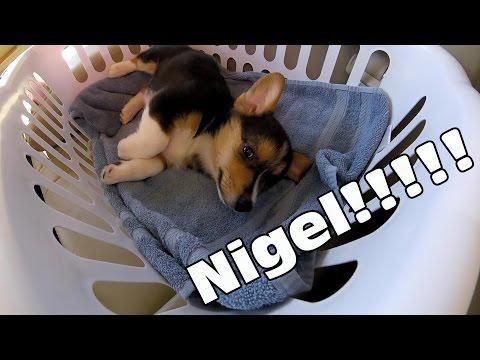 Meeting Nigel - Pembroke Welsh Corgi Puppy!!!
