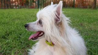 Chinese Crested Powder Puff dog