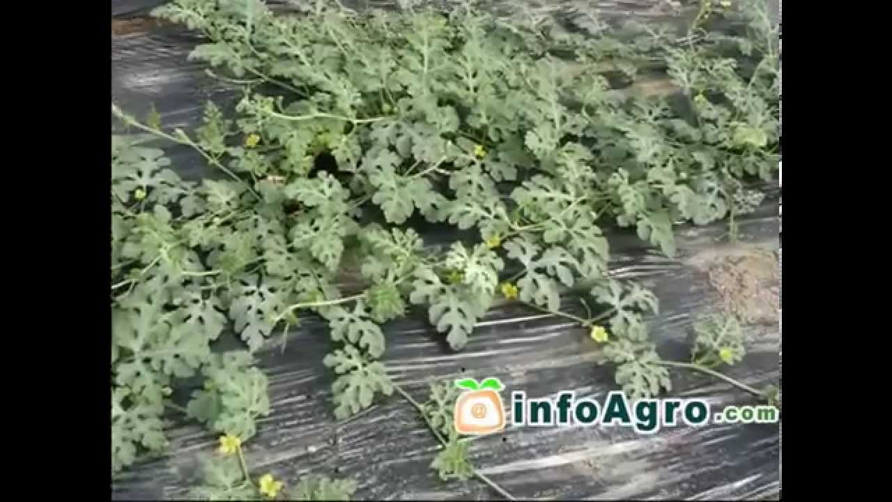 Watermelon growing how to plant grow and harvest watermelon watermelon growing how to plant grow and harvest watermelon youtube nvjuhfo Choice Image