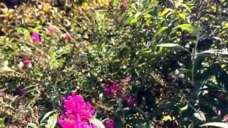Hummingbird Moths in North Carolina (slow motion)