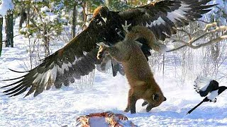 GOLDEN EAGLE - a winged assassin attacking people and wolves! Golden eagle vs deer, fox and hare!