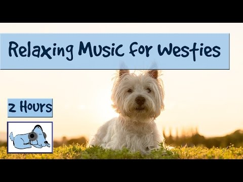 Westie Music! Music for West Highland White Terriers - How to Stop Westie's being Needy!