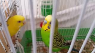 muhabbet kuşlarım yeni kuluçkaya hazırlar çiftleşiyorlar