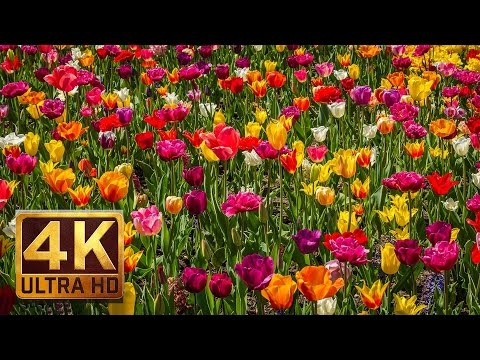 4K (UHD)Relaxation Footage with Nature Scenery and Sounds - FLOWERS - 16