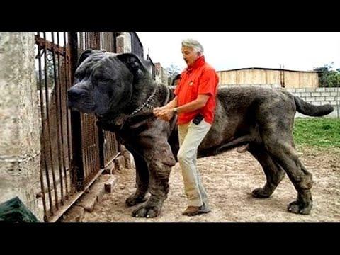 10 Raças De Cães Desconhecidas Mais Fortes Do Mundo