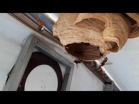 Çadıra Yuvan Yapan Eşek Arılarını Yakaladık