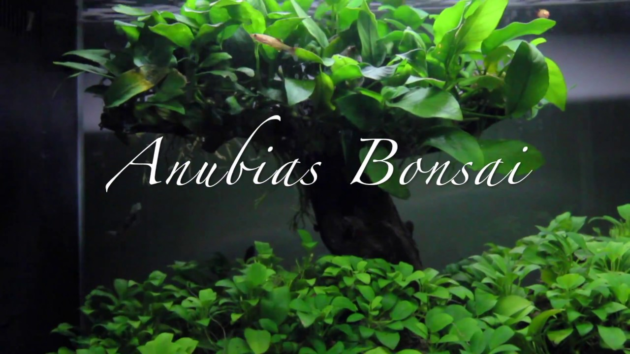 Anubias Bonsai Aquascape - YouTube