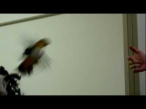 Caique flying fail