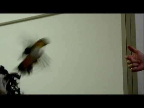 Caique flying fail