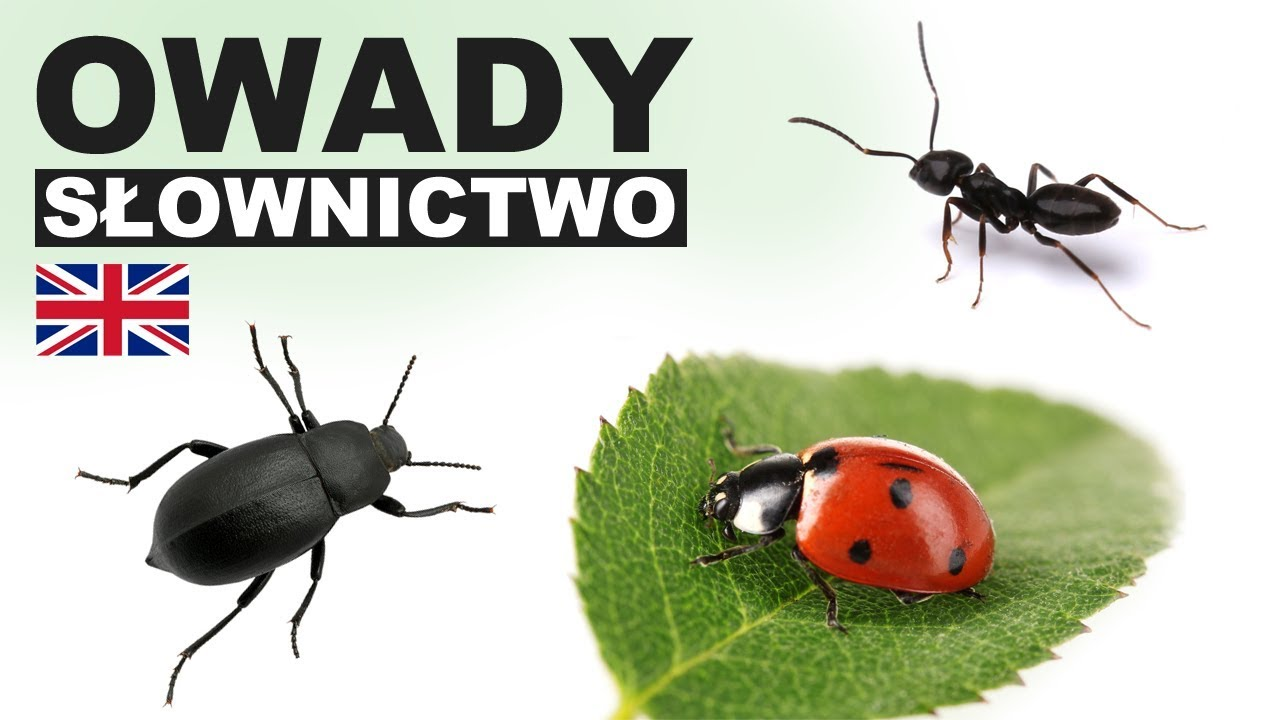 Learn Polish Vocabulary Insects 1 Owady Youtube
