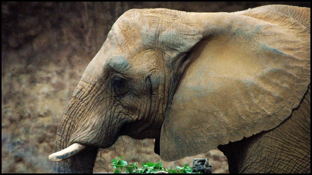 types of elephant elephantidae youtube