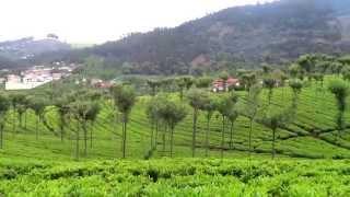 Beautiful Tea garden - Ooty (India)