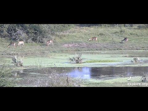 Africam | The Dodo Tranquil Tuesdays LIVE